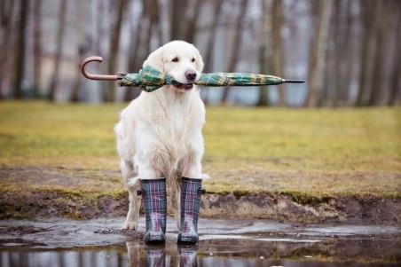 cane-golden-giornata-piovosa-pioggia-ombrello-stivali-fango